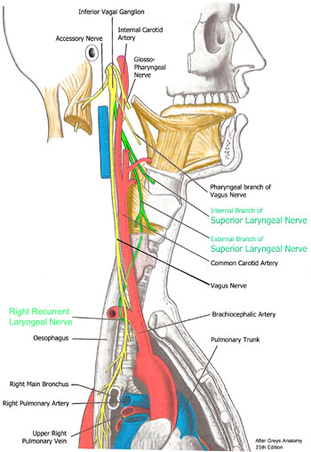 Right Recurrent Laryngeal Nerve